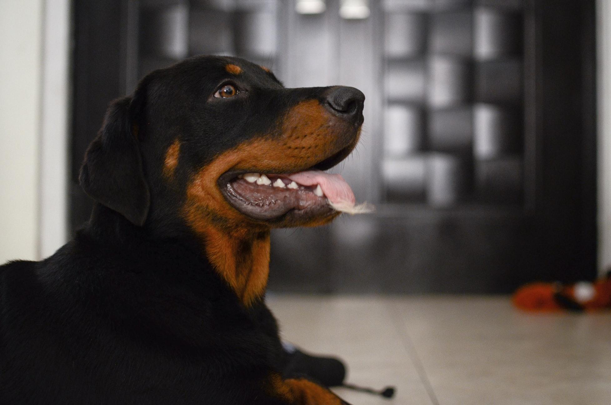 Rottweiler Insurance