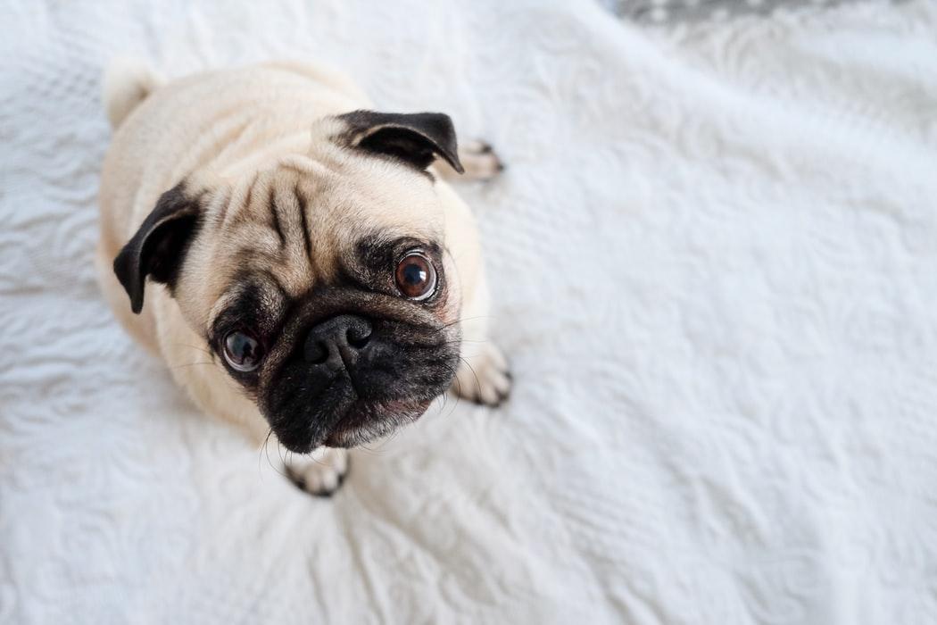 pug insurance