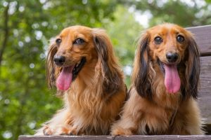 dachshund insurance